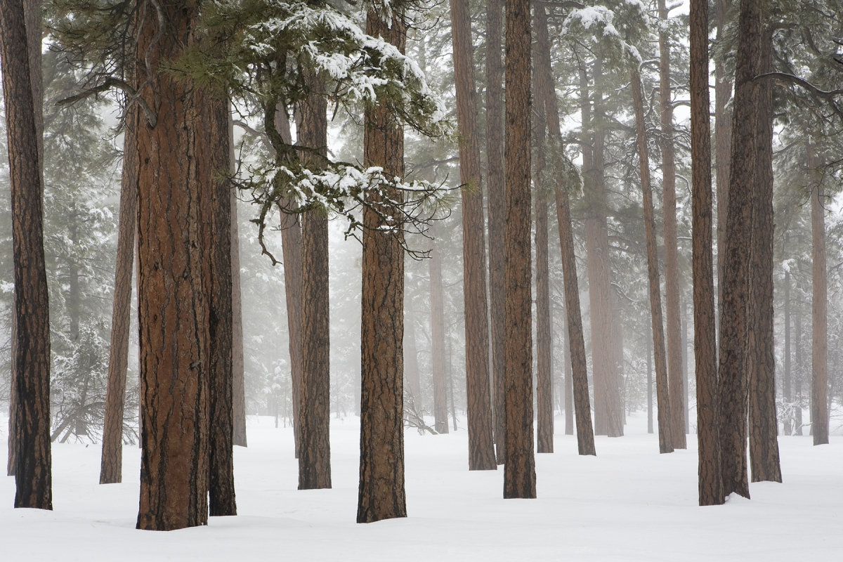 Grand Canyon forest in snow 3280